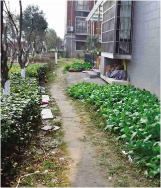 溧阳盛世华城小区绿化带成了 私家菜园 高清图片