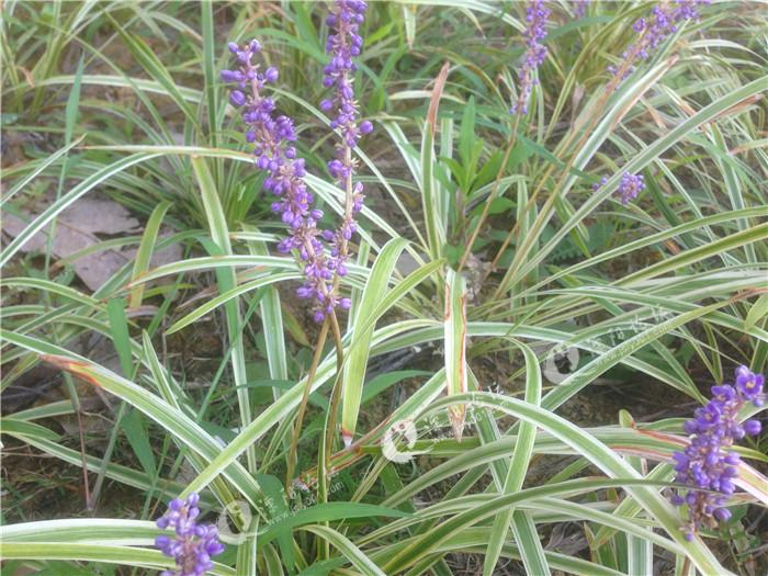 紫花圆苞鼠尾草