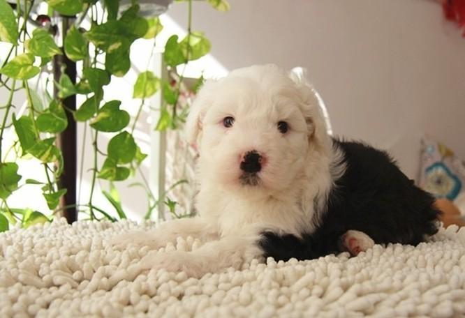 宠物花鸟 纯种可爱古牧幼犬 白头通背 四蹄 .