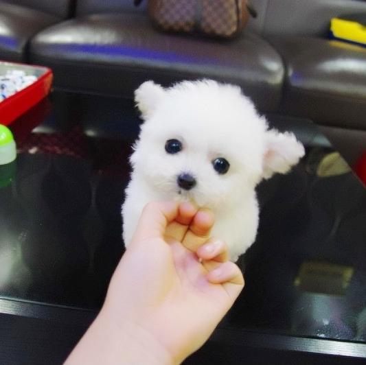 可爱萌宠泰迪犬 茶杯泰迪 泰迪幼犬 各色泰迪