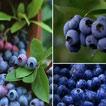 溧陽白露山農業生態園藍莓采摘開園啦!小伙伴們報名的開始咯~