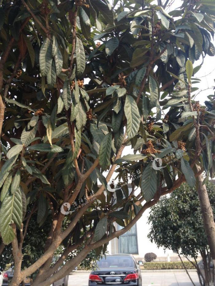 回去查了资料才注意到原来枇杷树是秋天出蕾,冬天开花,春天结果,夏天