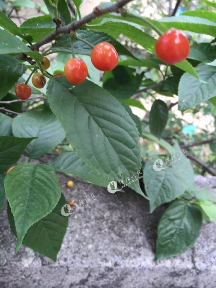 自家没有种植樱桃树,只能看着人家的樱桃空流口水了