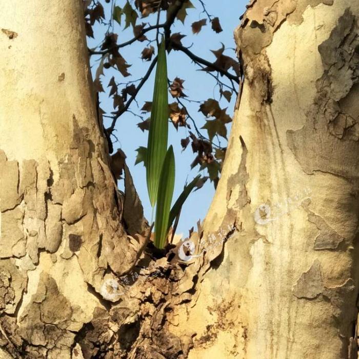 溧阳人民路街头法国梧桐树上长出新物种,有谁认识吗?感觉像是哪边飘来的种子在这棵梧桐树上落地生根,萌发了新芽。已经进入冬天,梧桐树也渐渐没了生机, 而飘零的种子也在寻找新的安身之处,尽管不是一方沃土, 也好歹能冒个新芽,长出绿叶。野火烧不尽,春风吹又生。梧桐树落光了叶子,新物种增加了生机~生命的力量如此强大,佩服佩服!